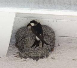 Mehlschwalben leiden nicht nur unter Nahrungsmangel wegen des Schwunds der der Flug-Insekten, auch ihre Nistplätze sind regelmäßig bedroht. - Foto: Uwe Hoffmann