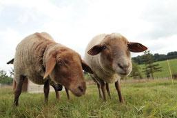 Die Schafe Liese und Lotte im Biotop für den Naturschutz unterwegs. Sie verdienen unseren Schutz! (muas)