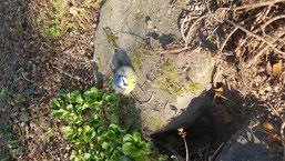 kranke Meise im Garten (Vollmer)