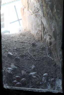 Blick ins Nest der Falken (M.Will)