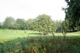 Nachhaltige Rinderbeweidung im Hahner Bachtal. (Foto: NABU Oberberg)