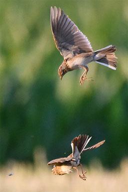 Flugkünstler Fütterung in der Luft ( Naturgucker/ Ansmann)