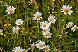 Margeriten - nur mit dem späten Schnitt hat diese Pflanzenart eine langfristige Chance zu überleben.