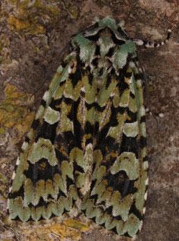 Die Grüne Eichen-Eule ist eine typische Art der Eichenmischwälder und auf der Roten Liste. (Foto: Dr. J. Rutschke)