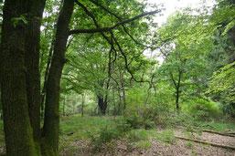 Alter, lichter Eichenbestand im Planungsgebiet Lindlar (Bild: R. Ufer).