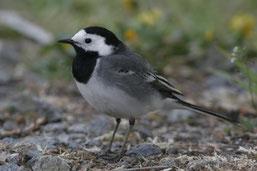 Werden bei der diesjährigen Stunde der Wintervögel vielleicht mehr Bachstelzen gezählt als im vergangenen Winter? (Foto: Klaus Mühlmann)