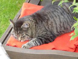 Hauskatze im Garten, Jäger der Vögel oder entspannte Schmusekatze? (A.Bruchhaus)