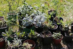 kein Saatgut aber Pflanzen(NABU)