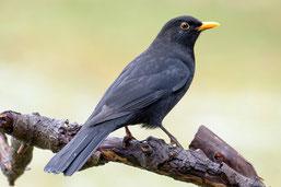 Amselhahn ( R.Jacobs) ein Verlierer im Bestand der Gartenvögel
