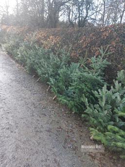 Weihnachtsbäume ungespritzt und unbehandelt /rebekka B)
