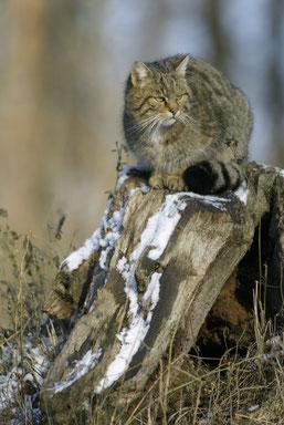 Die Wildkatze lebt zurückgezogen in großen Wäldern. (Foto: Dietmar Nill)