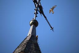 Falke im Anflug auf die Kirchturmspitze in Eckenhagen ( Bild: M.Will)