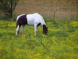 PferdGrasend Bild: dsabi