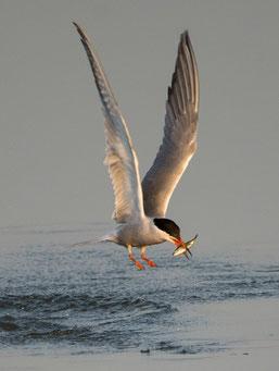 Flussseeschwalbe Foto: J. Martin