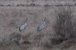 Kranichpaar im Ahlenmoor. Foto: NABU/Ropers