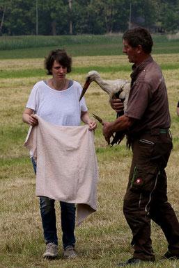 Der verletzte Storch wird geborgen   Fotos: Hans.-J. Ropers