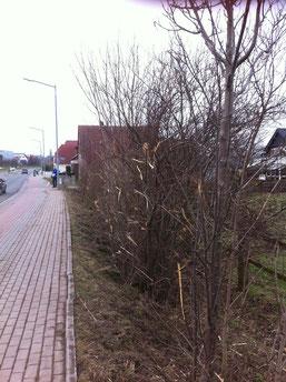 Zustand der Hecke an der Südlenger Straße nach dem Rückschnitt am 2.3.