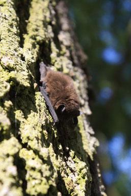 Zwergfledermaus Fledermauswanderung