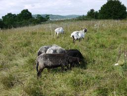 Die Jungtiere dürfen mit auf die Weide (Foto:NABU-Oberbiel)