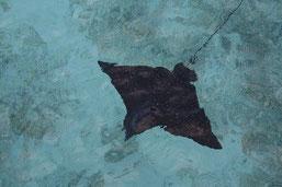 Adlerrochen in der Lagune (Fihalhohi/Malediven)