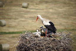 Blick ins Storchennest mit den vier jungen Störchen und einem Altvogel (Foto: Agnes Schulz)