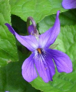 Flor de la Violeta