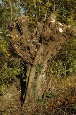 Geschneitelter Kopfbaum nach einem Pflegeeinsatz