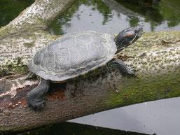 Schmuckschlidkröte