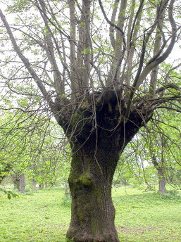 Typische Kopfform eines Kopfbaumes