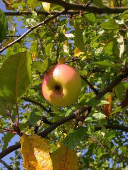 Apfel - ein gesundes Nahrungsmitte
