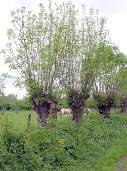 Kopfbäume bereichern unsere Landschaft