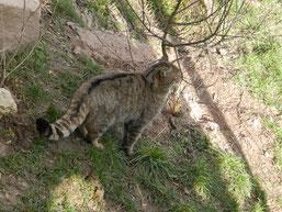 Wildkatze im Wildkatzendor Hütscheroda Foto: S. Löw