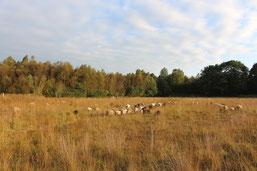 Bentheimer Landschafe (Foto: C. Marien)