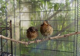 Zu den ersten Bewohnern der neuen Auswilderungsvoliere wurden zwei junge Amseln, die sich prächtig entwickelt haben. Fotos: NABU Leipzig
