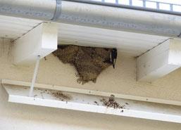 Nistplätze, beispielsweise Schwalbennester, dürfen auch außerhalb der Brutzeit nicht ohne Ersatz entfernt werden. Die oftmals gefürchtete Kotverschmutzung der Fassade, kann meist durch einfache Maßnahmen wirkungsvoll verhindert werden.