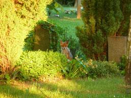 Zahlreiche Tiere konnten beim Rundgang über den Südfriedhof beobachtet werden, darunter ein Reh und ein Hase, auch ein Fuchs ließ sich bewundern. Foto: Daniela Dunger