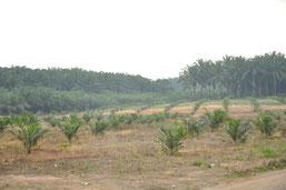Urwaldabholzung für Palmöl. Foto: Holz von Hier