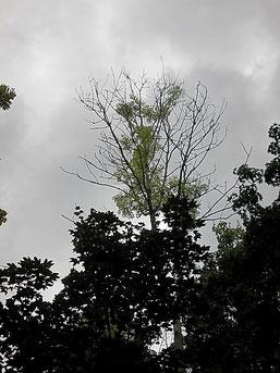 Das Eschentriebsterben ist am Absterben der Zweige in der Baumkrone zu erkennen. Viele Eschen sind bereits abgestorben. Foto: René Sievert