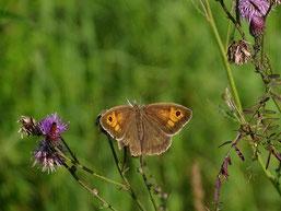 Auf der NABU-Streuobstwiese sind zahlreiche Schmetterlinge zuhause. Besonders wichtig: Sowohl Raupe als auch die erwachsenen Falter finden hier Nahrung und Lebensraum. Foto: Carola Bodsch
