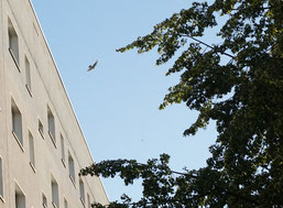 Ein Turmfalke beim Versuch, Mauersegler an einer Brutkolonie zu erbeuten.