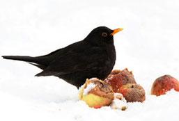 Die Amsel gehört in Leipzig neben Haussperling, Kohl- und Blaumeise zu den häufigsten Winter- vogelarten. Foto: NABU/Frank Derer