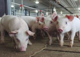 Aumenta el censo porcino de la UE