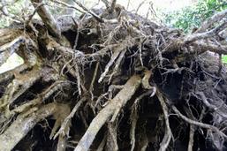 おろちの松の根