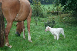 English Setter und Friese