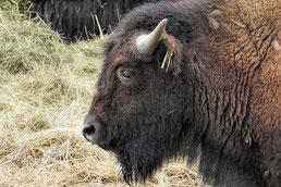 B - wie Bison