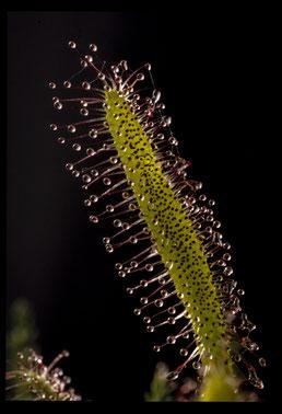 Drosera capensis - Dias numérisée