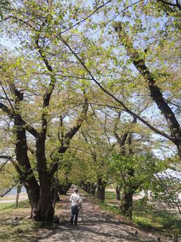 桧内川のさくら並木遊歩道。緑のトンネルも素晴らしい!