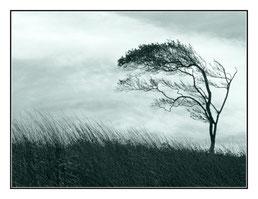 Windflüchter auf dem Darß