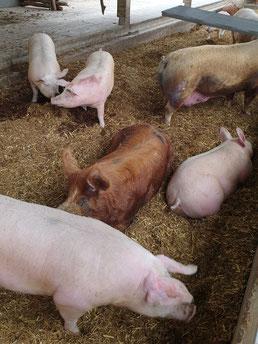 Schweine bei Vulcano