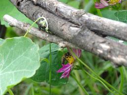 En vol, l'abeille butine